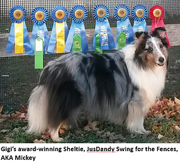 An award-winning Sheltie